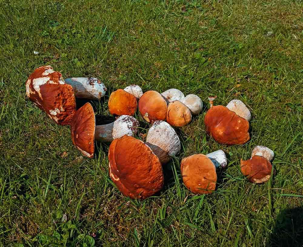 Steinpilze finden im herbst